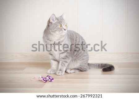 gray tabby cat sitting on the floor next to the bow, and looks away. - stock photo
