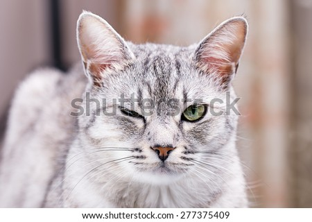 gray tabby cat winks close-up portrait - stock photo