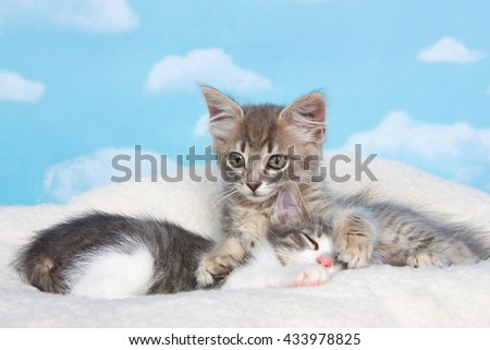 Gray tabby kitten awake, paws holding sibling sleeping on sheep skin blanket with blue background with clouds. copy space above - stock photo