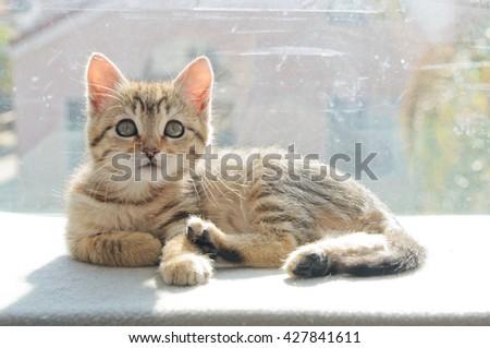 Gray Tabby Kitten Laying on Perch - stock photo