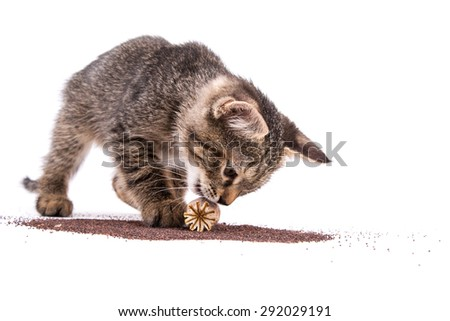gray tabby kitten playing with poppy capsule on white background - stock photo