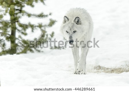 Gray timber wolf (Canis lupus), walking in snow.