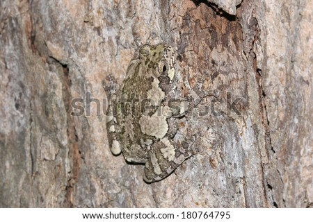 Gray Tree Frog (Hyla versicolor) Camouflaged Against Bark of a Maple Tree - Ontario, Canada - stock photo