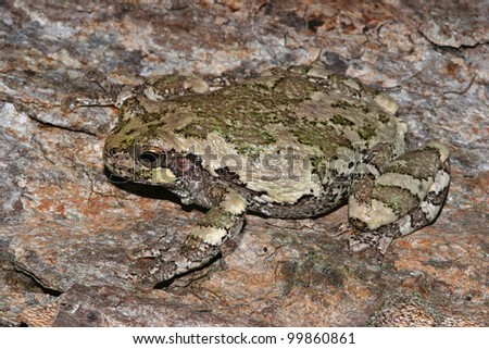 Gray Tree Frog (Hyla versicolor) camouflaged against the trunk of a maple tree - Ontario, Canada