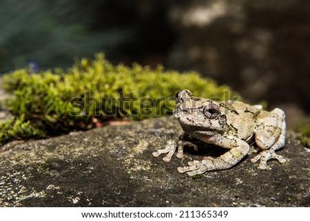 Gray Treefrog - stock photo