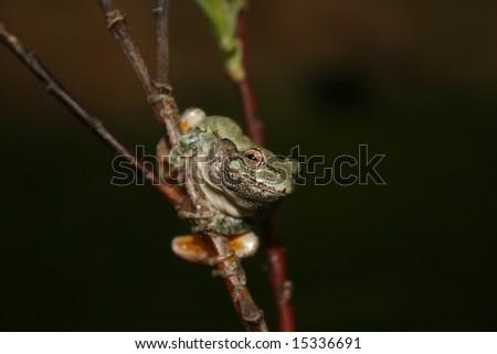 Gray Treefrog (Hyla versicolor) - stock photo