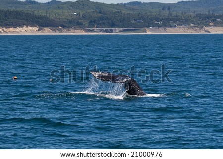 Gray Whale (Eschrichtius robustus) diving off the coast near Newport, Oregon