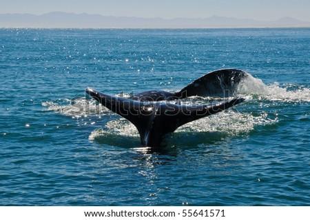 Gray Whales in Guerrero Negro, Mexico - stock photo