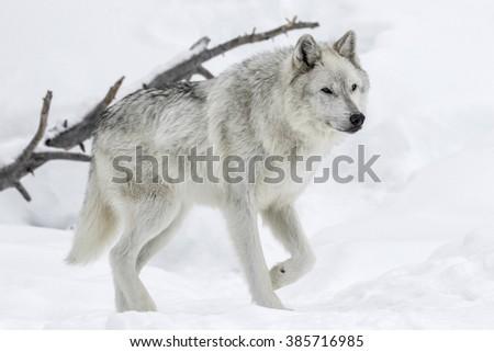 Gray Wolf - stock photo