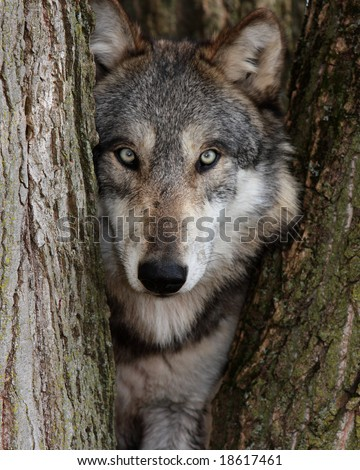 Gray Wolf Canis Lupus - stock photo