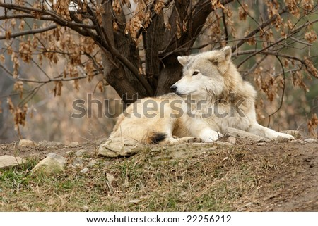 gray wolf (Canis lupus) - stock photo