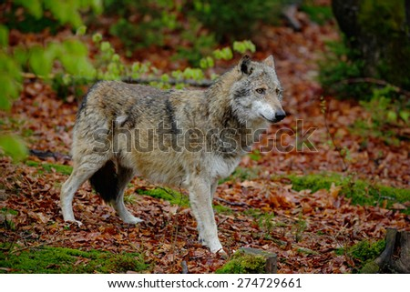 Gray wolf, Canis lupus, in the spring light green leaves forest - stock photo