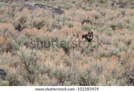 Gray wolf early spring in Yellowstone - stock photo