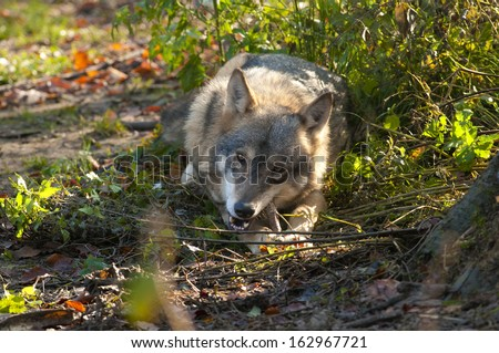 Gray Wolf eating a bone - stock photo