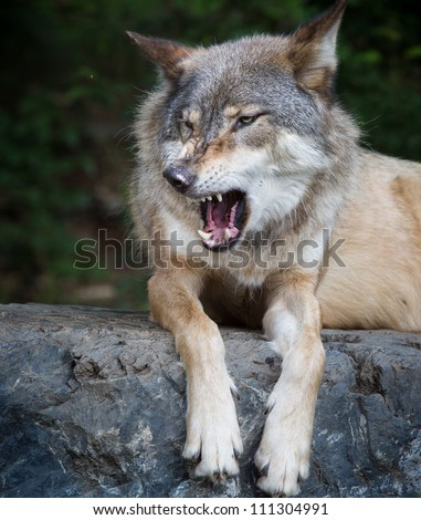 Gray wolf growls with mouth open - stock photo