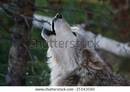 Gray Wolf Howling - stock photo