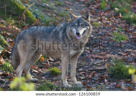 Gray Wolf in forest - stock photo