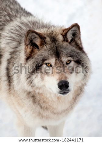 Gray Wolf in the Snow Looking up at the Camera - stock photo