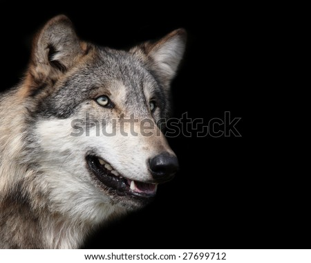 Gray wolf isolated on black background with room for text or other design elements - stock photo