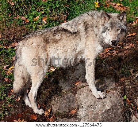 Gray Wolf Looking at the Camera - stock photo