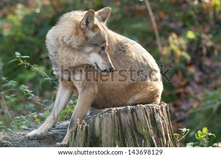 Gray Wolf on a stump - stock photo