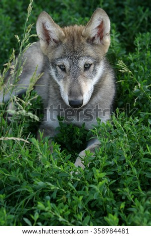 Gray wolf pup in grass - stock photo