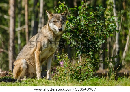 Gray wolf sitting in a forest in summer time - stock photo