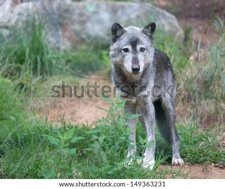 gray wolf standing and looking powerful - stock photo