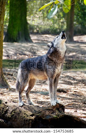 Gray wolf standing on a log and howling. - stock photo