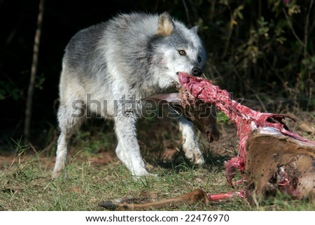 Gray Wolve in natural habitat working in a captured deer. - stock photo