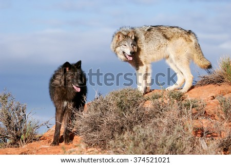Gray wolves (Canis lupus) in a desert with red rock formations - stock photo