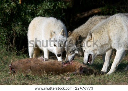Gray Wolves in natural habitat working in a captured deer. - stock photo