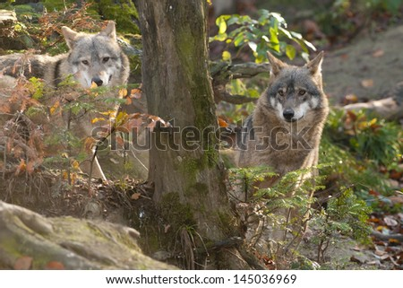 Gray Wolves Playing - stock photo