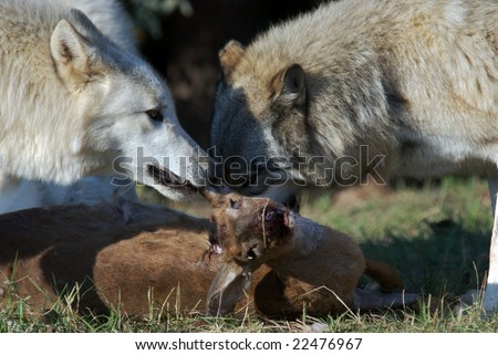 Gray Wolves starting to eat a recently hunted deer. - stock photo