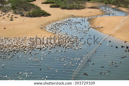 Grazing animal on river, herd of duck on water, poultry breeding at Vietnam