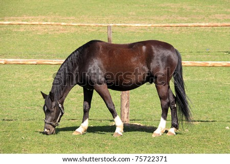 Grazing brown Horse on the green Field - stock photo