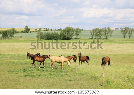 Grazing brown Horses on the green Pasture - stock photo