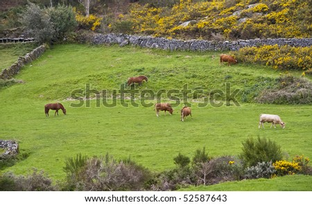 grazing cattle, between stone walls - stock photo