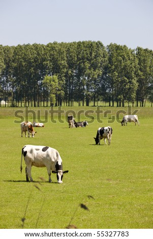 grazing cattle in a green field in holland - stock photo