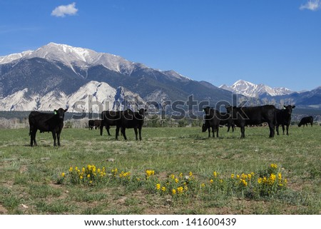 Grazing cattle in spring in the collegiate peaks of Colorado's Rocky Mountains, near Salida and Buena Vista. - stock photo