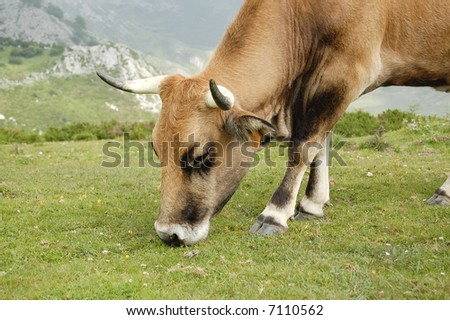 Grazing Cow Close up - stock photo