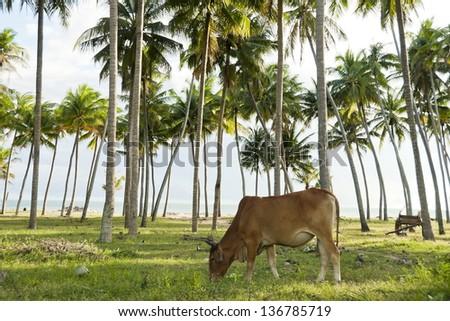 Grazing cow in a coconut grove in Mui Ne, Vietnam. - stock photo