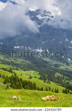 Grazing cow on a summer pasture with the background of swiss mountain cover with snow, Switzerland Interlaken - Lauterbrunnen Selective Focus - stock photo