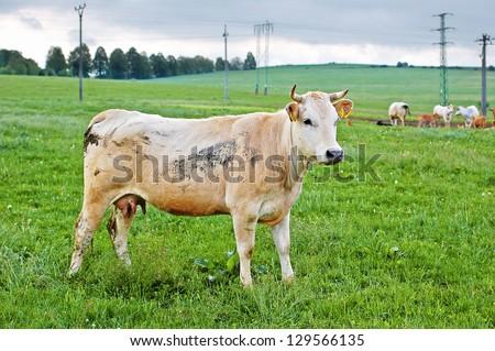 Grazing cow on organic farm - stock photo