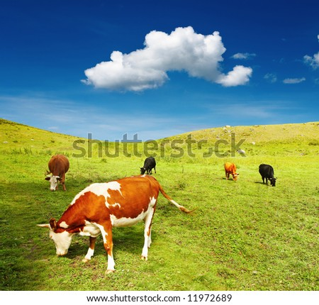 Grazing cows - stock photo