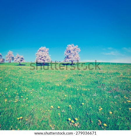 Grazing Cows and Flowering Trees Surrounded by Sloping Meadows in Switzerland, Instagram Effect - stock photo