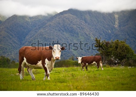 Grazing cows and rural landscape at Fox Glacier, West Coast, South Island, New Zealand - stock photo