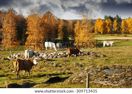 grazing cows, cattle in an old rural farming landscape, Sweden - stock photo
