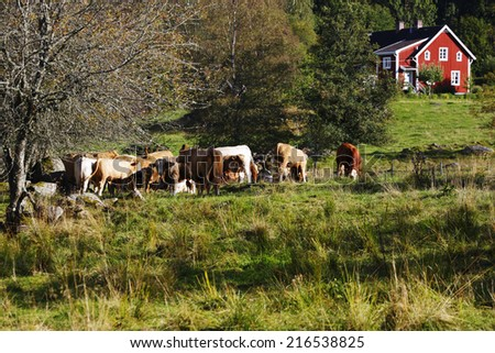 grazing cows, cattle, set against old red farm, trees and forest, Sweden - stock photo