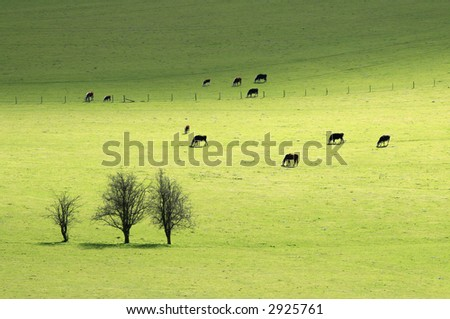 Grazing cows in pasture, springtime - stock photo
